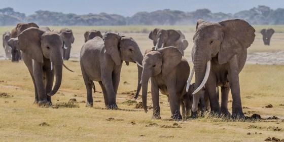 African elephants, Amboseli National Park