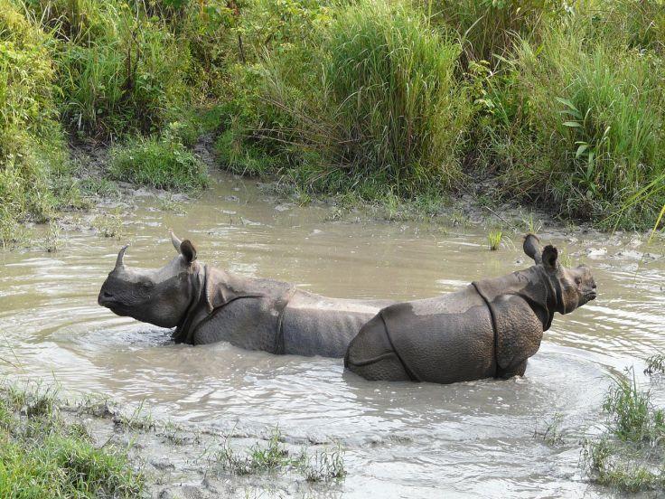 Wallowing_rhinos_Jaldapara_WLS_AJT_Johnsinhgh