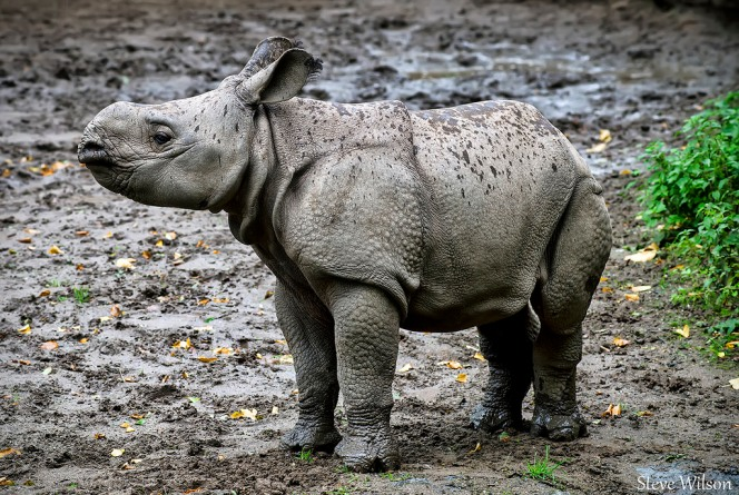 Greater_One_Horned_Rhino_Calf.jpg